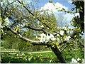 Kirschblüte - panoramio (14).jpg