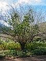 Kirstenbosch National Botanical Garden, Cape Town (P1060027).jpg
