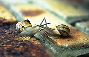 Two Helicid snails make contact prior to mating.