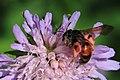 Knautien-Sandbiene Andrena hattorfiana 3552.jpg