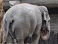 Knie's Kinderzoo Rapperswil - Elephas maximus 2010-09-26 15-28-14 -crop-.jpg