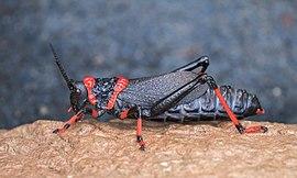 Koppie foam grasshopper (Dictyophorus spumans spumans).jpg