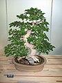 Korean Beech Bonsai Tree.jpg