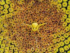 Krabbenspinne Misumena vatia auf Sonnenblume-20190727-RM-075353.jpg