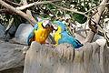La-Palmyre-zoo 138-Ara-ararauna.jpg