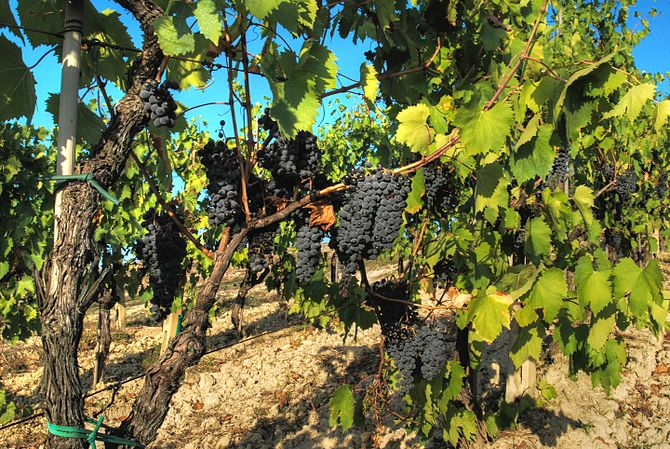 Sangiovese grapes on the vine