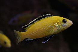 Labidochromis caeruleus (male)