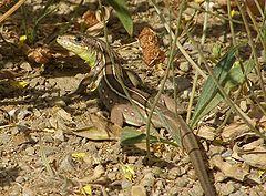 240px-Lacerta Trilineata