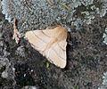 Lackey. Malacosoma neustria - Flickr - gailhampshire.jpg