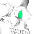 Lacrimal bone - lateral view4.png