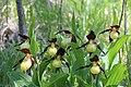 Lady's-Slipper Orchid - Cypripedium calceolus (14041398529).jpg