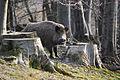 Lainzer Tiergarten Wildschweine 01.jpg
