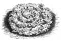 Laitue frisée de Californie Vilmorin-Andrieux 1883.png
