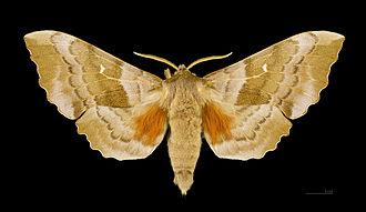 Laothoe populi - Dorsal side of male moth