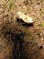 Large mushroom (3945588013).jpg