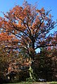 Large white oak at old house site.jpg