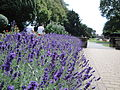 Lavender flowering at Newport Church Litten.JPG