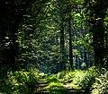 Leśny cień - panoramio.jpg