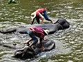 Le bain des éléphants 02.JPG