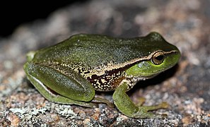 Leaf-Green Tree Frog (Litoria nudidigita) (8397032759).jpg