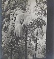 Left stereoscopic print of snowcovered pines in Ruovesi, Finland (34184767954).jpg