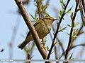 Lemon-rumped Warbler (Phylloscopus chloronotus) (25863229256).jpg