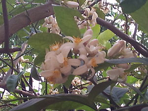 English: flowers of the lemon tree in our garden