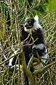 Lemur (26619208297).jpg