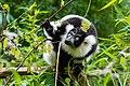 Lemur (26773261149).jpg