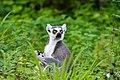 Lemur (36475919644).jpg