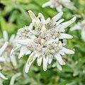 Leontopodium alpinum 'Matterhorn' in Jardin des 5 sens (1).jpg