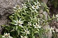Leontopodium japonicum 13.jpg