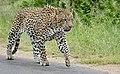 Leopard (Panthera pardus) male walking on the road ... (50148568523).jpg