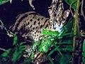 Leopard Cat (14161127126).jpg
