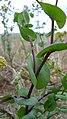 Lepidium perfoliatum 1.jpg