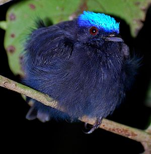 Blue-crowned manakin - Adult male of a blue-bodied subspecies