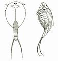 LepidurusGlacialis.png