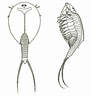 Lepidurus glacialis, Illustration