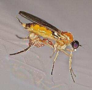 Pseudoscorpion - Phoretic pseudoscorpion on a fly, Germany
