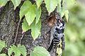 Lesser Spotted Woodpecker Lodz(Poland)(js)03.jpg