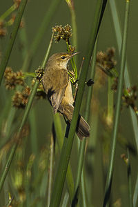 Lesser Swamp-Warbler - South Africa S4E6038 (17328738802).jpg