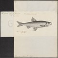 Leuciscus vulgaris - 1700-1880 - Print - Iconographia Zoologica - Special Collections University of Amsterdam - UBA01 IZ14900045.tif