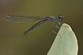 Libellago lineata female-Kadavoor-2015-08-21-003.jpg