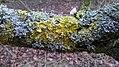Lichen (27738430250).jpg