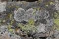 Lichen (29561927907).jpg