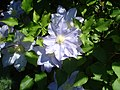 Lilac Clematis (8203396230).jpg