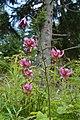 Lilium martagon4.jpg