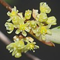 Lindera triloba (flower female s2).jpg