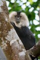 Lion Tailed Macaque (26758757542).jpg