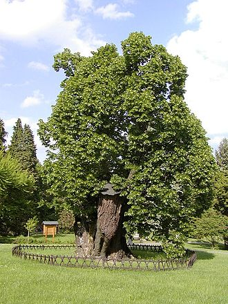 Bojnice Castle - The King Matthias Linden Tree, approximately 700 years old, one of the oldest documented trees in Slovakia